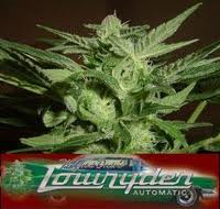Lowryder Easy Rider Feminised Seeds