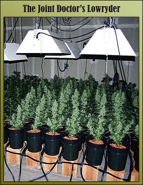 Lowryder 2 Feminised Cannabis Seeds.