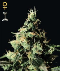 GreenHouse Seeds Chemdog