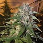 Sour Diesel Seeds Feminized Best Review