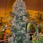 Barneys Farm Violator Kush